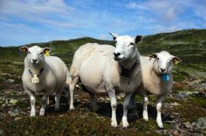 lammelår og fårikål?