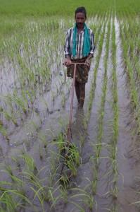 Risbonde i India. Foto: R Våga Pedersen (Bioforsk)